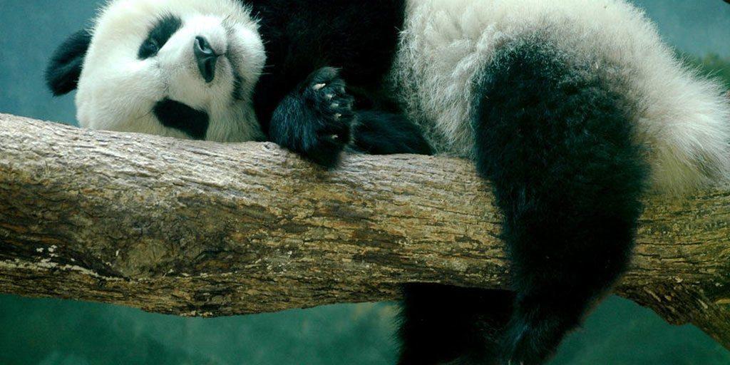 relaxing-panda-